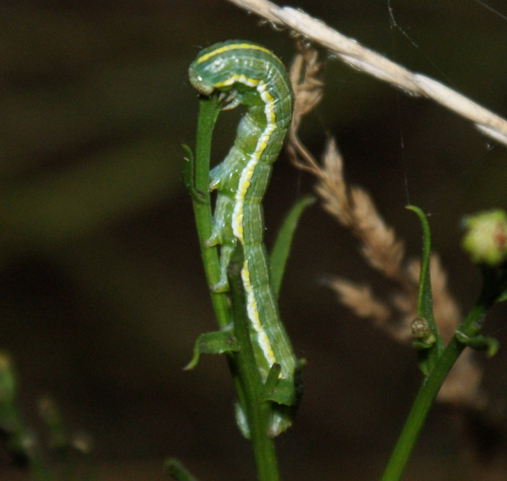 larva night-feeding Copyright: Robert Smith