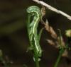 larva night-feeding Copyright: Robert Smith