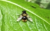 Volucella bombylans Copyright: Peter Pearson