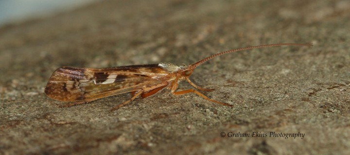Limnephilus marmoratus 2 Copyright: Graham Ekins