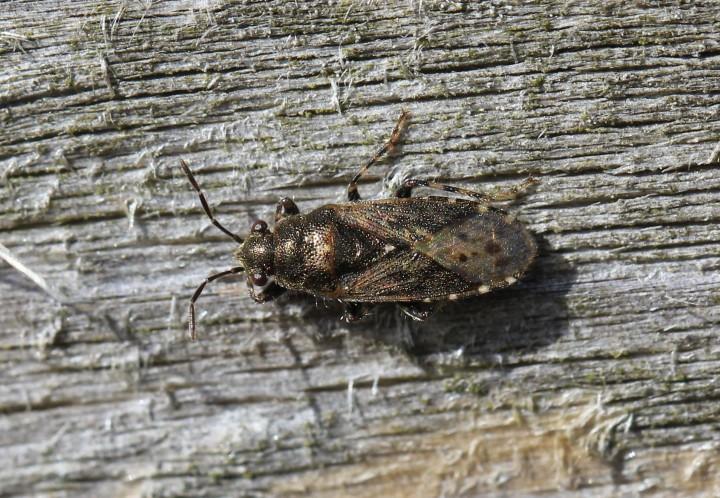 Heterogaster urticae Copyright: Yvonne Couch