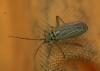 Oncotylus viridiflavus 2 Copyright: Robert Smith