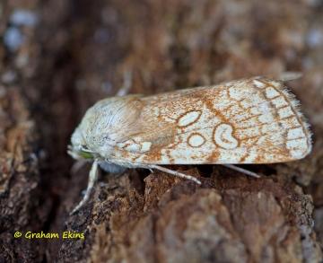 Heart Moth  Dicycla oo Copyright: Graham Ekins
