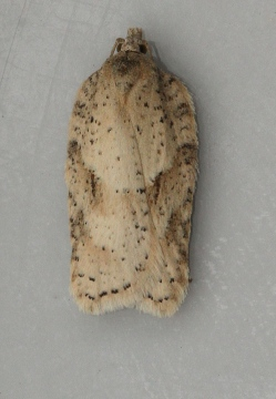 Acleris notana 3 Copyright: Graham Ekins