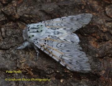Puss Moth  Cerura vinula 1 Copyright: Graham Ekins