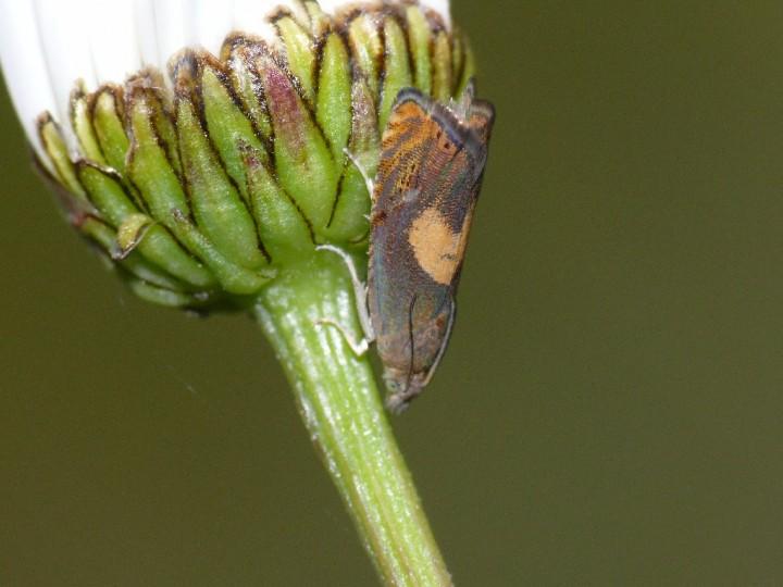 Dichrorampha alpinana Copyright: Peter Furze