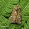 Mesoligia furuncula  Cloaked Minor 2 Copyright: Graham Ekins