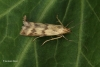 Homoeosoma sinuella  2 Copyright: Graham Ekins