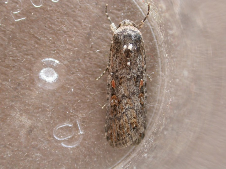 Small Mottled Willow 4 Copyright: Clive Atkins