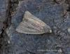 Small Rufous  Coenobia rufa Copyright: Graham Ekins
