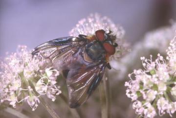 Phasia hemiptera