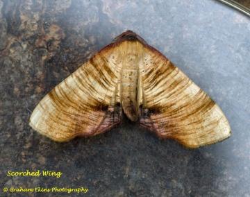 Scorched Wing  Plagodis dolabraria Copyright: Graham Ekins