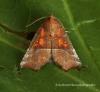Scoliopteryx libatrix   Herald 1 Copyright: Graham Ekins