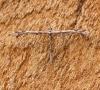 Amblyptilia acanthadactyla 1 Copyright: Ben Sale