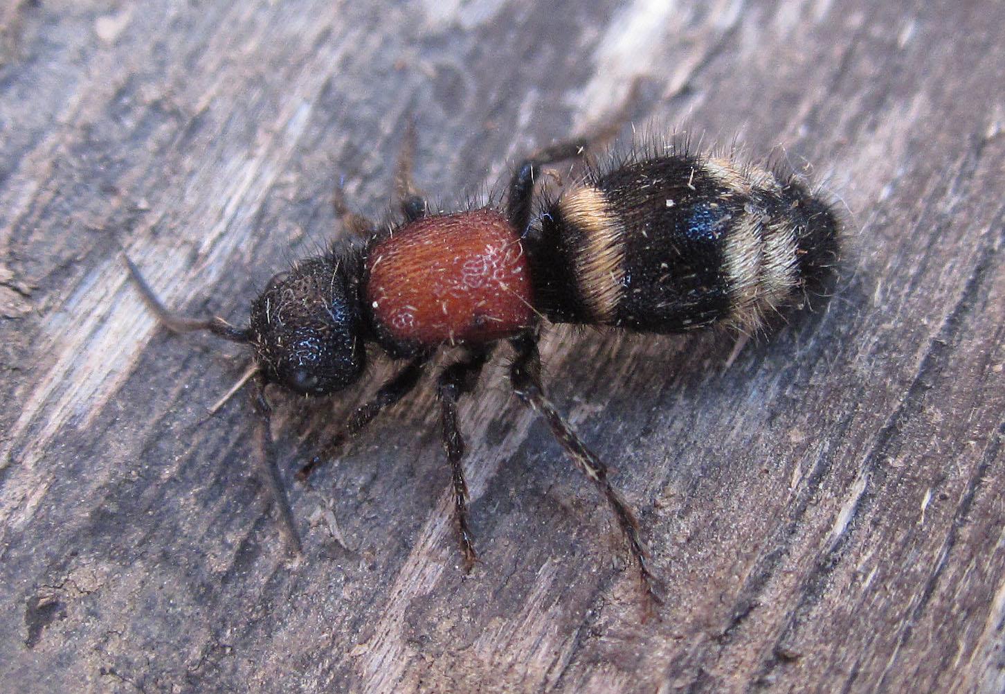 Large Velvet Ant Copyright: Clive Atkins