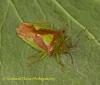 Acanthosoma haemorrhoidale  (Hawthorn Shieldbug) Copyright: Graham Ekins