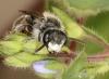 Andrena labiata male face Copyright: Peter Harvey
