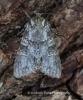 Grey Arches  Polia nebulosa Copyright: Graham Ekins