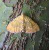 Yellow Shell. Copyright: Stephen Rolls