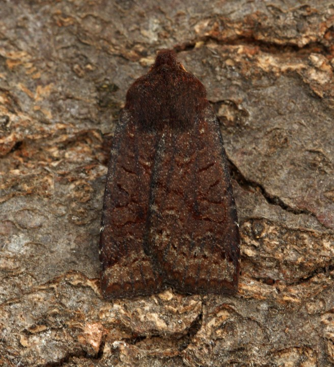 Dark Chestnut   Conistra ligula Copyright: Graham Ekins