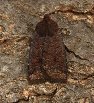 Dark Chestnut   Conistra ligula Copyright: Graham Ekins