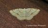 Dorset Cream Wave   Stegania trimaculata Copyright: Graham Ekins