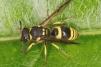 Ancistrocerus gazella Copyright: Peter Harvey