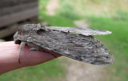 Convolvulus Hawk Moth Copyright: Graham Smith