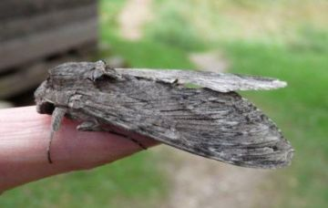 Convolvulus Hawk Moth Copyright: Graham Smith