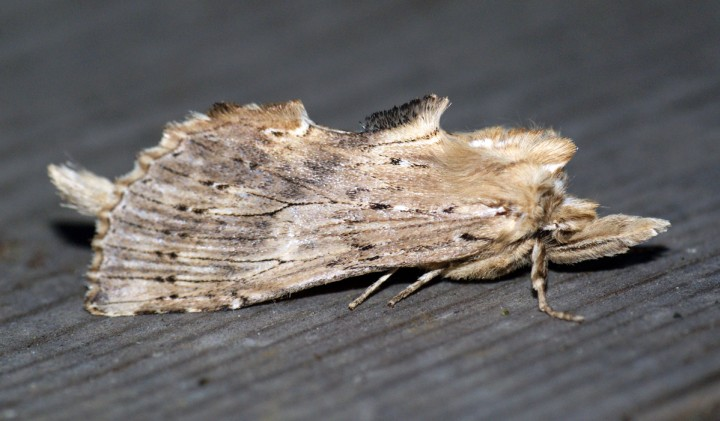 Pale Prominent 3 Copyright: Ben Sale