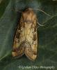 Gortyna borelii   Fisher's Estuarine Moth 2 Copyright: Graham Ekins