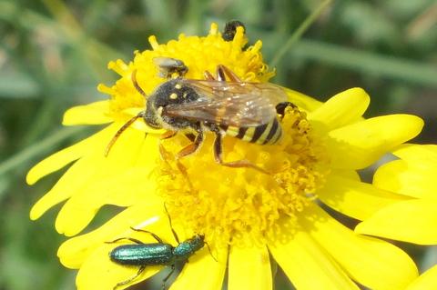 Bee on Ragwort Copyright: Peter Pearson