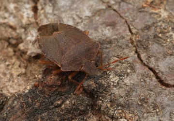 Palomena prasina (Green Shieldbug) (winter colour) 2 Copyright: Graham Ekins
