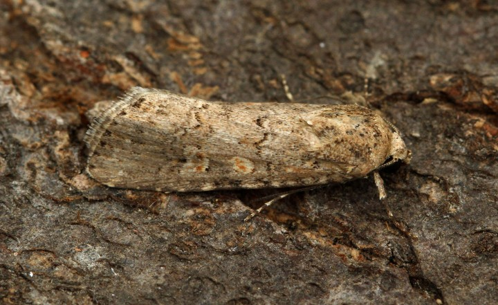 Small Mottled Willow 5 Copyright: Graham Ekins