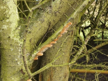 Cushion Bracket on Blackthorn Copyright: Peter Pearson