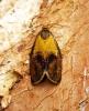 Ptycholoma lecheana 3 Copyright: Ben Sale