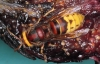 Vespa crabro Copyright: Peter Harvey