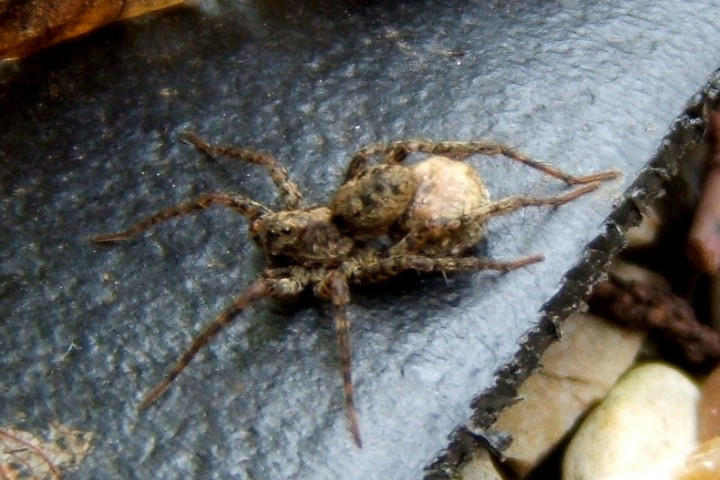 Wolf Spider female with egg sac Copyright: Peter Pearson