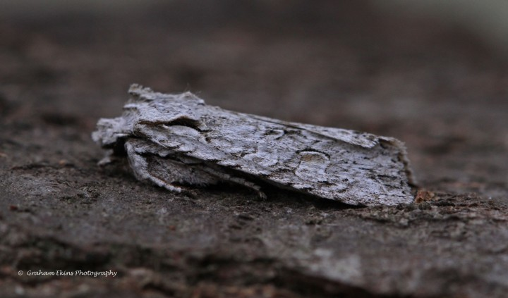 Grey-shoulder Knot  Lithophane ornitopus Copyright: Graham Ekins