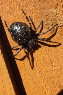 Walnut Orb-weaver Spider Copyright: Peter Pearson