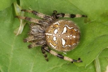 Araneus quadratus female Copyright: Peter Harvey