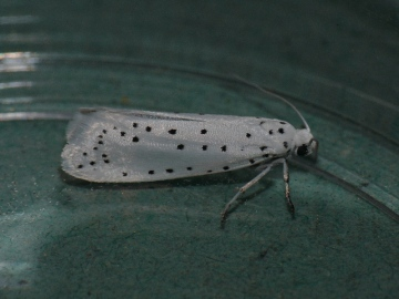 Spindle ermine Copyright: Peter Furze