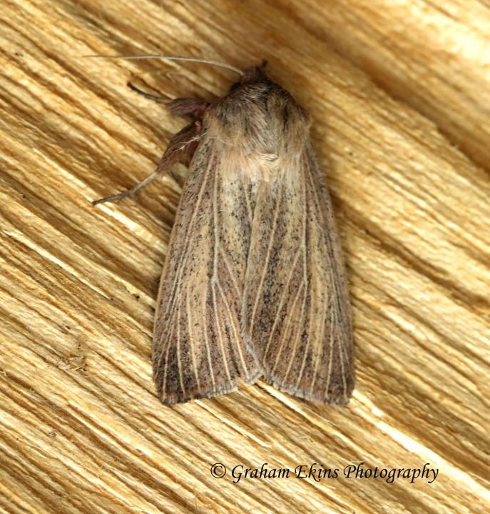 Mythimna pudorina  Striped Wainscot 2 Copyright: Graham Ekins
