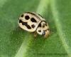 Tytthaspis sedecimpunctata  (16-Spot Ladybird) Copyright: Graham Ekins