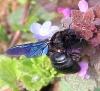 Xylocopa violacea Copyright: Christine Le Fur