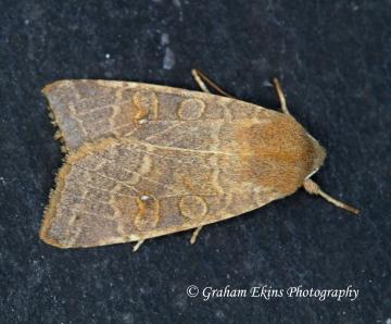 Pale-lemon Sallow (Cirrhia ocellaris) 1 Copyright: Graham Ekins