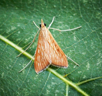 Antigastra catalaunalis Copyright: Ben Sale