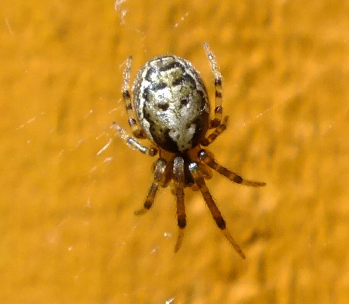 Missing sector orb web Spider Copyright: Peter Pearson