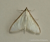 Palpita vitrealis 3 Copyright: Graham Ekins