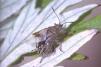 Stictopleurus punctatonervosus Copyright: Peter Harvey